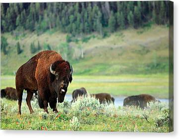 Angry Buffalo Canvas Print by Todd Klassy