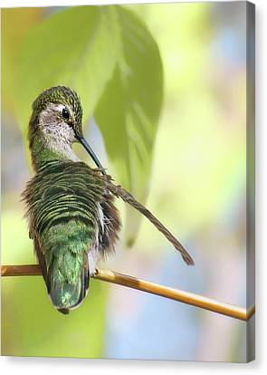 Anna's Hummingbird - Preening Canvas Print by Nikolyn McDonald