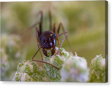 Ant Canvas Print by Andre Goncalves