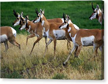Antelope 1 Canvas Print by Marty Koch