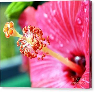 Anthers And Flaments On Hibiscus Canvas Print by Eva Thomas