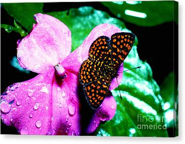 Antillean Crescent Butterfly On Impatiens Canvas Print by Thomas R Fletcher