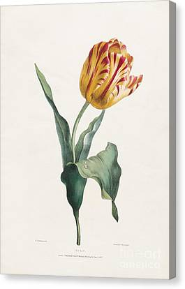 Antique Tulip Print Canvas Print by Valentine Bartholomew