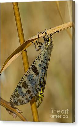 Antlion In Greece Canvas Print by Steen Drozd Lund