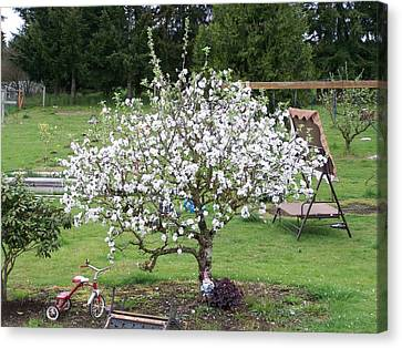 Apple Blossoms Canvas Print by Laurie Kidd