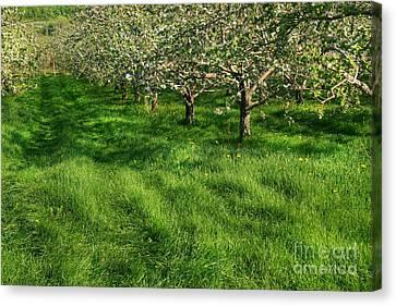 Apple Orchard Canvas Print by Sandra Cunningham