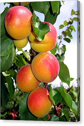 Apricots Canvas Print by Will Borden