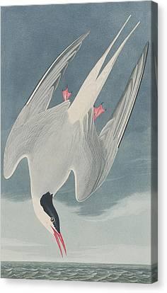 Arctic Tern Canvas Print by John James Audubon