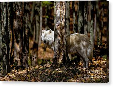 Arctic Wolf In Forest Canvas Print by Michael Cummings