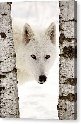 Arctic Wolf Seen Between Two Trees In Winter Canvas Print by Mark Duffy