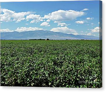 Arizona Cotton Field Canvas Print by Methune Hively