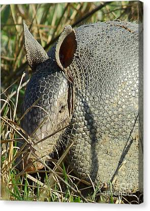 Armadillo By Morning Canvas Print by Robert Frederick