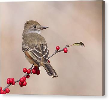 Ash-throated Flycatcher On A Branch Canvas Print by Morris Finkelstein