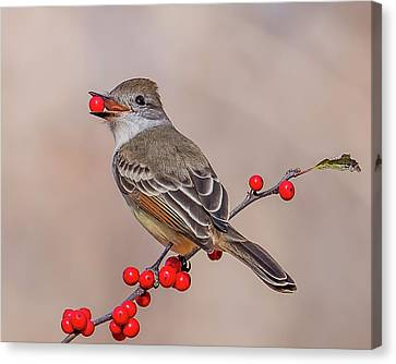 Ash-throated Flycatcher With A Red Berry Canvas Print by Morris Finkelstein
