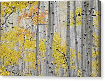Aspen Forest Texture Canvas Print by Leland D Howard