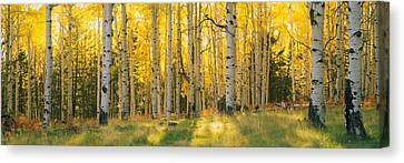 Aspen Trees In A Forest, Coconino Canvas Print by Panoramic Images