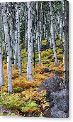 Aspens And Golden Ferns - Www.thomasschoeller.photography Canvas Print by Thomas Schoeller