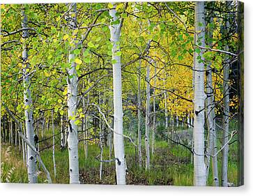 Aspens In Autumn 6 - Santa Fe National Forest New Mexico Canvas Print by Brian Harig