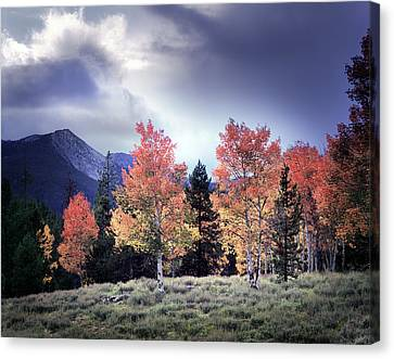 Aspens In Autumn Light Canvas Print by Leland D Howard