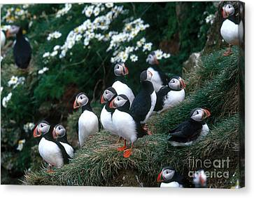 Atlantic Puffins Canvas Print by Art Wolfe