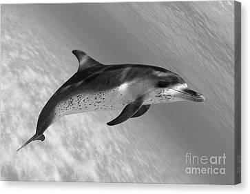 Atlantic Spotted Dolphin Canvas Print by Dave Fleetham - Printscapes