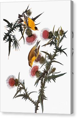Audubon: Goldfinch Canvas Print by Granger