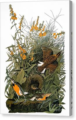 Audubon: Meadowlark Canvas Print by Granger