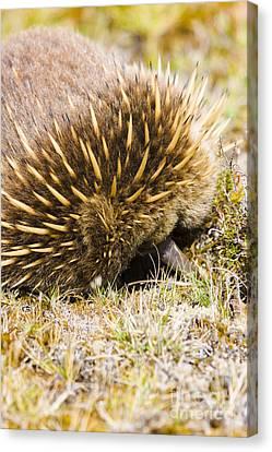Australian Echidna Burrowing Up Ants Nest Canvas Print by Jorgo Photography - Wall Art Gallery