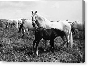 Austria: Horse Farm Canvas Print by Granger