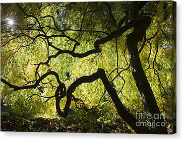 Autumn Acer Sunlight Canvas Print by Tim Gainey