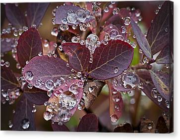 autumn Huckleberry leaves macro in autumn Canvas Print by Ed Book