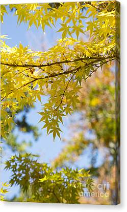 Autumnal Coral Bark Maple Leaves Canvas Print by Tim Gainey