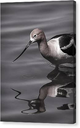 Avocet Water Reflections Canvas Print by Vicki Stansbury