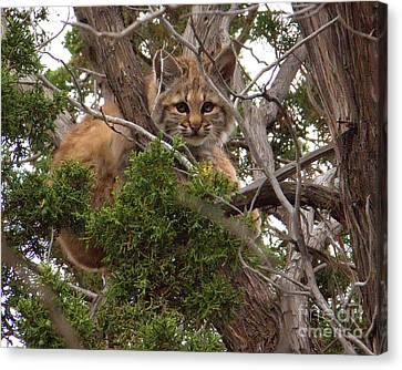 Baby Bobcat Canvas Print by Carolyn  Wright