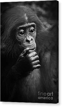 Baby Bonobo Canvas Print by Helga Koehrer-Wagner
