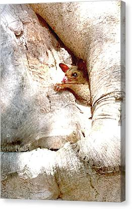 Baby Brushtail Possum 2 Canvas Print by Darren Stein