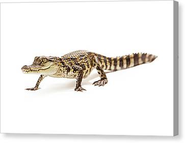 Baby Crocodile Walking Forward Canvas Print by Susan Schmitz