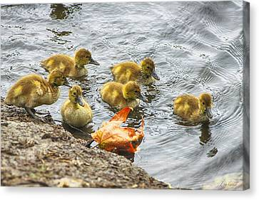 Baby Ducks And Autumn Leaf Canvas Print by Diana Haronis