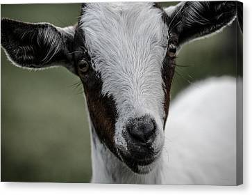 Baby Goat Canvas Print by Donna Lee