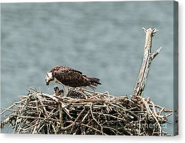 Baby Osprey Eating Fish From Female Osprey Canvas Print by Dan Friend