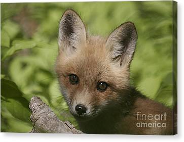 Baby Red Fox Canvas Print by Robert Pearson