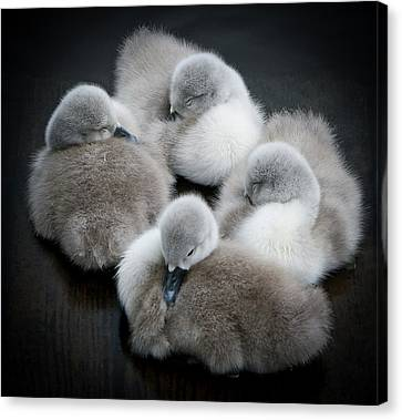 Baby Swans Canvas Print by Roverguybm