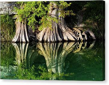 Bald Cypress Rooting In Canvas Print by Ellie Teramoto