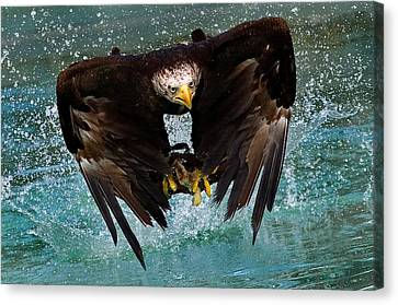 Bald Eagle In Flight Canvas Print by Dean Bertoncelj