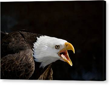 Bald Eagle Portrait 2 Canvas Print by Laurie With