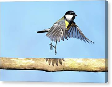 Ballerina Bird Canvas Print by Marcel ter Bekke