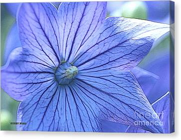 Balloon Flower Enhanced Canvas Print by Corey Ford