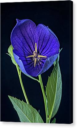 Baloon Flower In Early Morning Canvas Print by Douglas Barnett