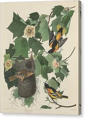 Baltimore Oriole Canvas Print by John James Audubon