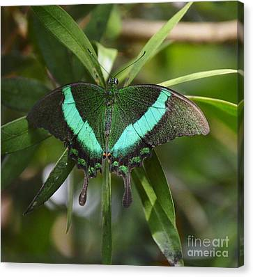 Banded Peacock Butterfly Canvas Print by Marilyn Smith